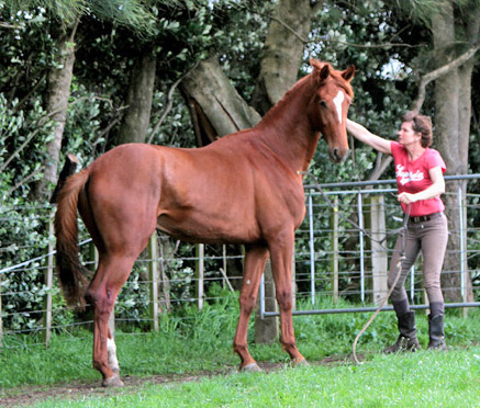 """Jutta releasing Lion King into his paddock after arrival at Vollrath. As of October 2013, he status changed from 'colt' to """"stallion"""" as he has served two of our mares: Liaison and Wild Fantasy. He proved to be a very sensitive young man who will do things his way."""