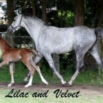 Velvet with her Lessing daughter Lilac, November 2012