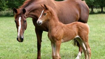 The Hanoverian Horse and its New Zealand Bloodlines