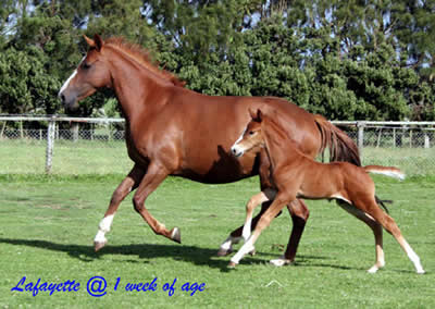 Hanoverian Horses For Sale Nz