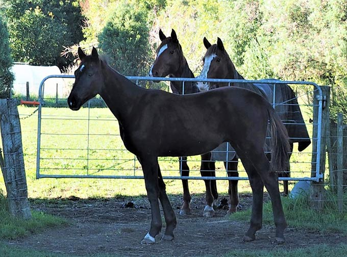 VSA enjoys the company across the gate with the fillies Giulietta, left, and Lovestory, right.
