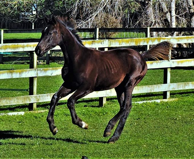 Our colt has a perfect movement in all gaits and this is paired with a fantastic character ... he is cool, calm and friendly!
